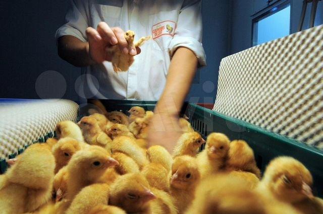 Франция заявляет, что ее птицеводство прекратит измельчать цыплят заживо к 2022 году